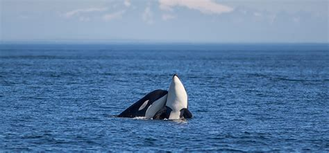 Whale Boat Tours Seattle by Western Prince Whale San Juan Island Near Seattle