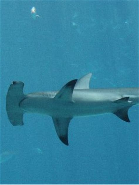 types  sharks animal facts  information