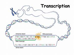 Rna  Structure  Transcription And Editing - Presentation Biology