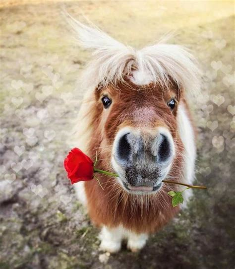horse pets exotic rose holding pony miniature horses own mane mouth its blonde unusual brown mini legally pinto breeds smallest