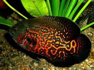 Fish Index: Tiger Oscar Fish (Astronotus Ocellatus)