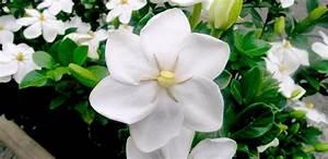 Cuidados de las gardenias