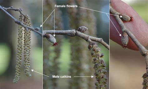 corylus colurna oregon state univ landscape plants