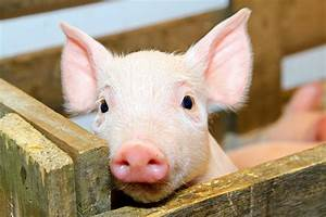 Baby pig wallpapers | Baby Animals