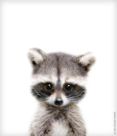 baby raccoon print the crown prints