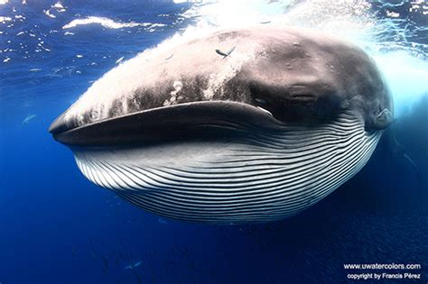brydes whale story   shot underwater