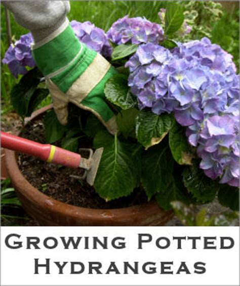 growing potted hydrangeas tip sheet tipnut