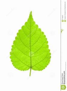 One Green Leaf Isolated On White Stock Photo - Image: 57138975
