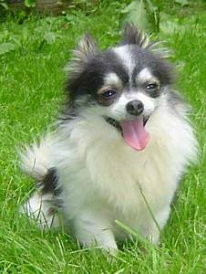 Best 25+ Long coat chihuahua ideas on Pinterest | Long ...