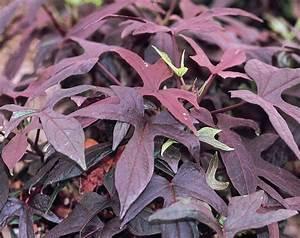 purple sweet potato plants Quotes