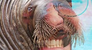 Tusk Walrus Suit   www.imgkid.com - The Image Kid Has It!