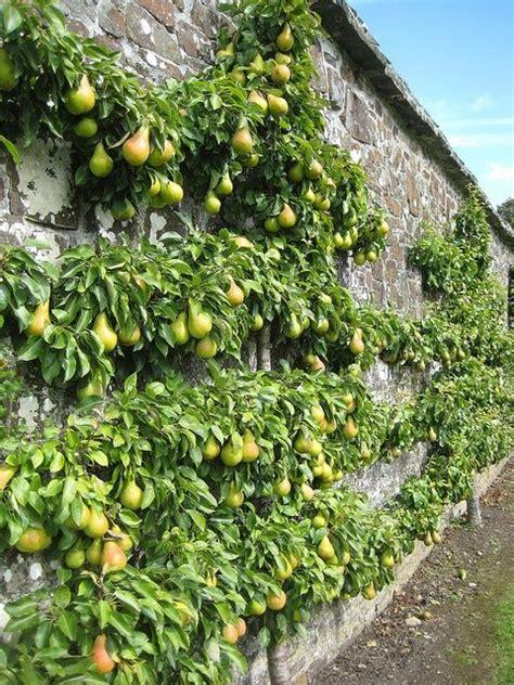 pear espalier espaliered pear tree garden ideas pinterest