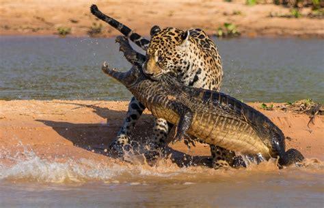 animals crocodiles fighting wallpapers hd desktop