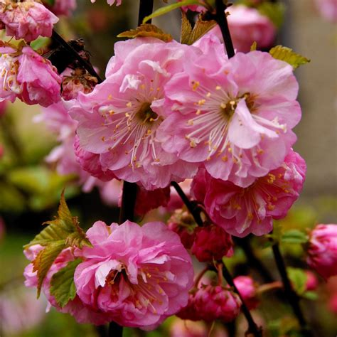 Jan 28, 2020 · the name derives from its blossoming coinciding with western japan's spring equinox, called higan. Pink Flowering Trees - Gardenerdy