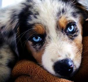 Australian Shepherd Puppy | Awesome Dogs!!!! | Pinterest ...