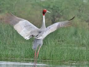 Sarus Crane Birds