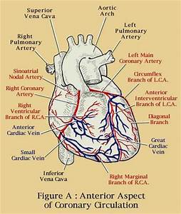 Know Ur Heart  The Coronary Circulation