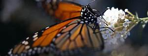 Mexico to open sanctuaries for monarch butterflies to ...