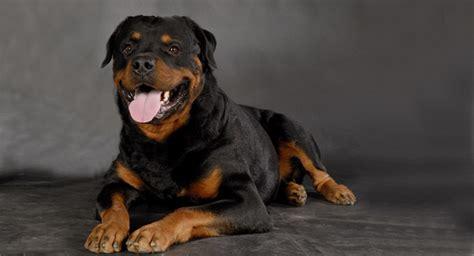 Rottweiler #perros #perro #mascotas
