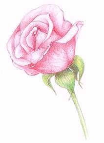 Pink Rose Drawing