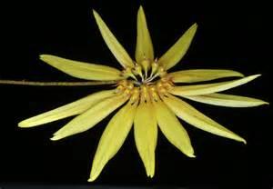 pictures of orchids bulbophyllum makoyanum