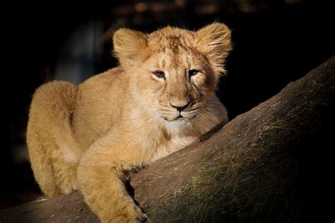photo lion baby young cute animal  image