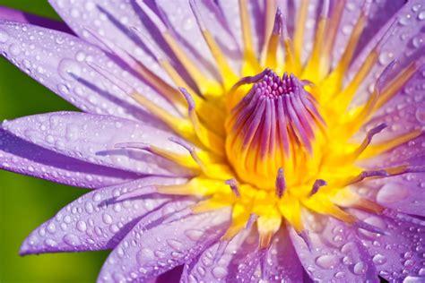 Blue Lotus the Remedy | Liberation the Remedy UK