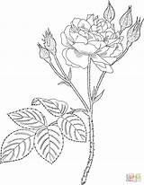 Coloring Rose Pages Moss Roses Realistic Printable Pink Template Supercoloring Communis Corner Common Dibujos Garden Yashi Adult sketch template