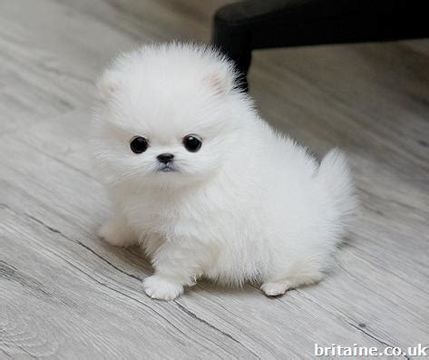 white teacup pomeranian puppies  sale  middlesex