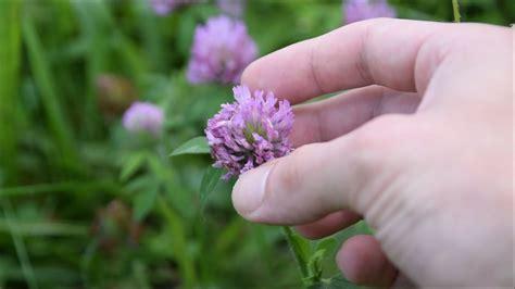medicinal plants  herbs   find   backyard