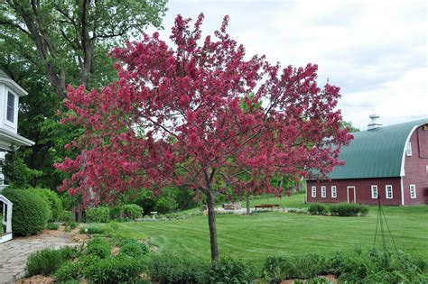 pictures of crabapple trees prairie fire crabapple tree just two farm kids