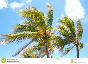 Palm Trees In The Wind Royalty Free Stock Image - Image ...