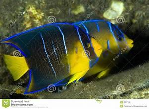 Juvenile Blue Angelfish Royalty Free Stock Photos - Image ...