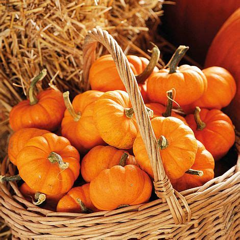 pumpkin jack   seeds thompson morgan