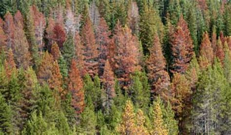 Beetle Kill Pine Lumber Utah by Economic Assessment Of Mountain Pine Beetle Timber Salvage