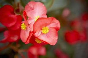 home interior design photos for small spaces begonia flower family picture gallery