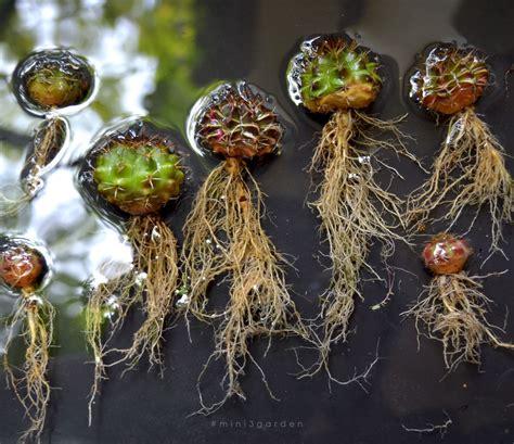 #gymnocalycium | Garden trees, Instagram photo, Photo and ...