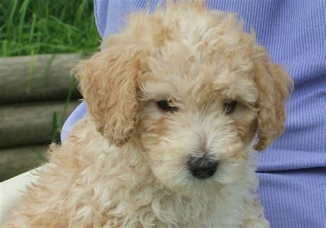 do hypoallergenic dogs shed as puppies cockapoo small hypoallergenic dogs that messes