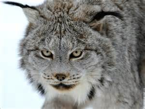 lynx cat images lynx hd wallpaper and background photos