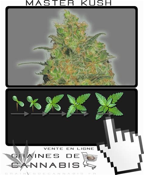 graines de cannabis f 233 minis 233 es master kush