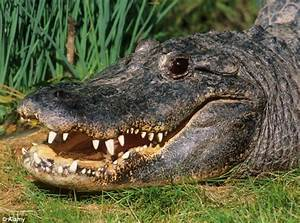 U0026 39 Costa Croc U0026 39  Goes On The Run  Police Hunt 7ft Alligator