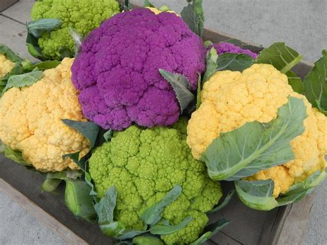 colored cauliflower all the colors of cauliflower at once osborne seed