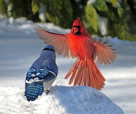 cardinal  blue jay confrontation  shot