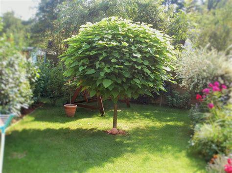 catalpa baum schneiden kugel trompetenbaum nana catalpa bignonioides nana baumschule horstmann