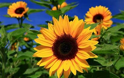 Untuk Cantik Bagus Desktop Sunflower Pc Paling