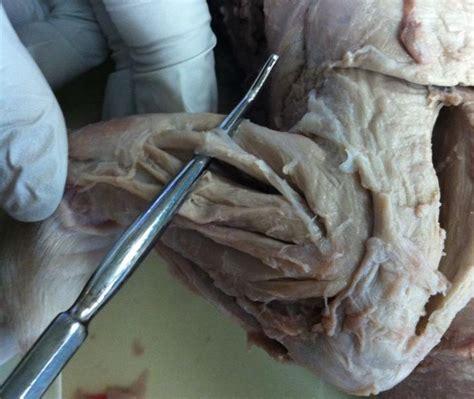 forelimb   dissect  fetal pig