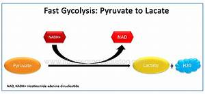 During Anaerobic Conditions  Fast Glycolysis  Energy