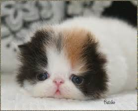 baby cats for pictures gallery pictures of baby kittens baby