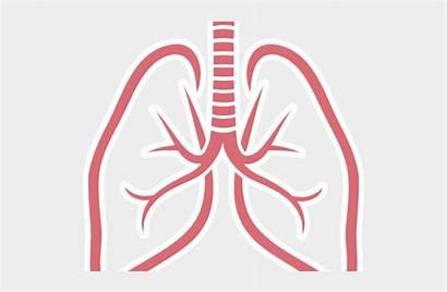 Lungs Clipart Transparent Cartoons Jing Fm