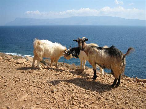 cretan goats  photo  hania crete trekearth